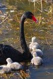 лебедь семьи Стоковое фото RF