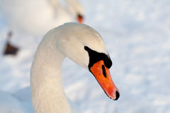 лебедь снежка Стоковое Изображение RF