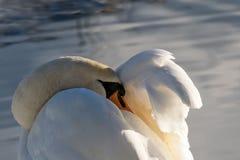 Лебедь спать Отдыхать после полета Стоковое Изображение RF