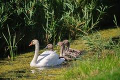 Лебедь с молодым заплыванием стоковые изображения