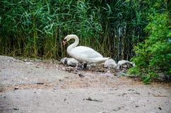 Лебедь с пинтами на береге пруда против предпосылки тростников Стоковые Фото