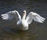 лебедь танцульки Стоковое Изображение RF