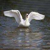 лебедь танцульки Стоковые Изображения RF