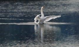 лебедь танцы Стоковое фото RF