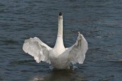 лебедь танцы Стоковая Фотография