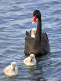 лебедь цыпленока 01 младенца Стоковые Изображения