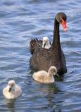лебедь цыпленока 02 младенцев Стоковое Фото