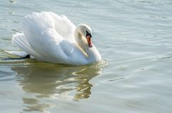 Лебедь Стоковые Фотографии RF