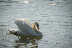 Лебедь Стоковые Изображения