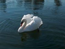 Лебедь Стоковая Фотография RF