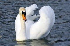 лебедь 2 Стоковая Фотография