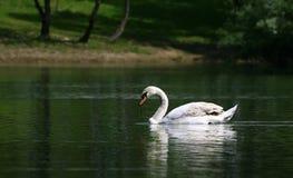 лебедь 2 Стоковое фото RF