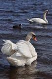 Лебедь 2 Стоковые Изображения