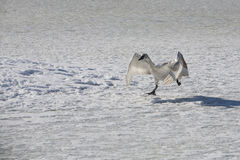 Лебедь 9 Стоковое Изображение RF