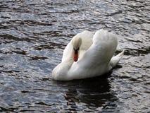 Лебедь angoras Знание природы Через глаза природы стоковое фото rf