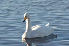 лебедь bewick s Стоковое фото RF