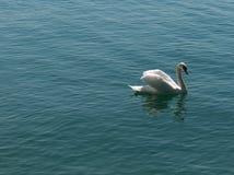 лебедь cygnus Стоковая Фотография