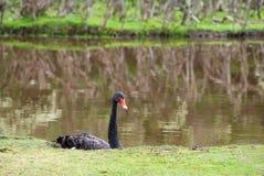 лебедь cygnus atratus черный Стоковые Фотографии RF