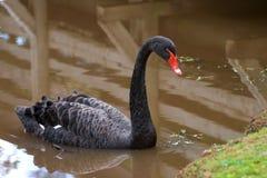 лебедь cygnus atratus черный Стоковые Изображения RF