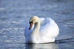лебедь olor cygnus безгласный Стоковое Фото