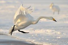 Лебедь Whooper стоковые фото
