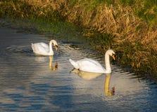 2 лебедя на реке с отражением и золотым солнцем накаляют Стоковая Фотография RF