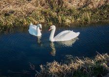 2 лебедя на реке с отражениями Стоковые Фотографии RF