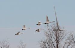 Лебединые песни Стоковое фото RF