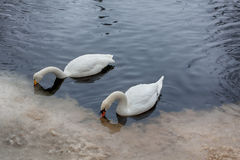 Лебеди в зиме Стоковая Фотография