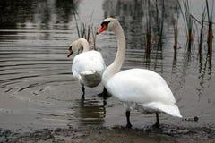 Лебеди в озере Стоковая Фотография