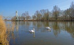 Лебеди вдоль берега канала Стоковые Изображения