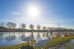 Лебеди вдоль берега канала Стоковая Фотография RF