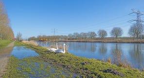 Лебеди вдоль берега канала Стоковые Фото