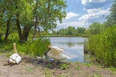 Лебеди вдоль берега озера Стоковое фото RF