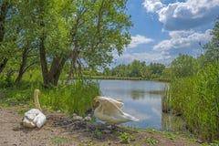 Лебеди вдоль берега озера Стоковое Изображение RF