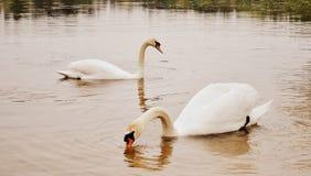 Лебеди в пруде Стоковая Фотография