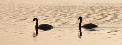Лебеди в свете вечера Стоковое Изображение