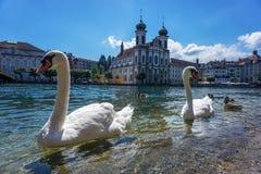 Лебеди в центре Люцерна с церковью Стоковое Изображение RF