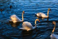 Лебеди в Hallstatt Стоковая Фотография RF