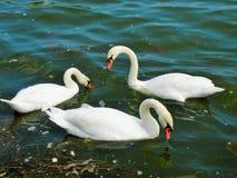 Лебеди в Tabacariei паркуют, Constanta, Румыния, временя Стоковое Изображение