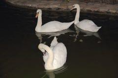 Лебеди дерева белые на простом Стоковое Изображение RF