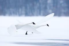 Лебеди летая над замороженным рекой Стоковые Изображения RF