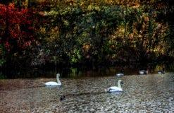 Лебеди и гусыни Стоковая Фотография