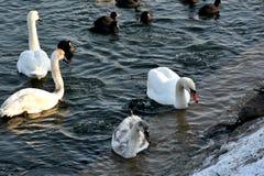 Лебеди и простофили Стоковая Фотография RF