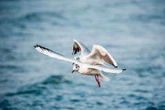 Лебеди и другие водоплавающие птицы на море Стоковая Фотография