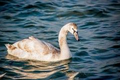 Лебеди и другие водоплавающие птицы на море Стоковое Фото