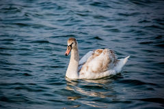 Лебеди и другие водоплавающие птицы на море Стоковое фото RF