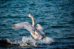 Лебеди и другие водоплавающие птицы на море Стоковое Изображение