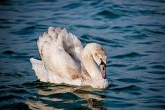 Лебеди и другие водоплавающие птицы на море Стоковые Фото