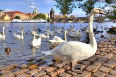Лебеди и утки на Moldau приставают к берегу в Праге Стоковые Фото